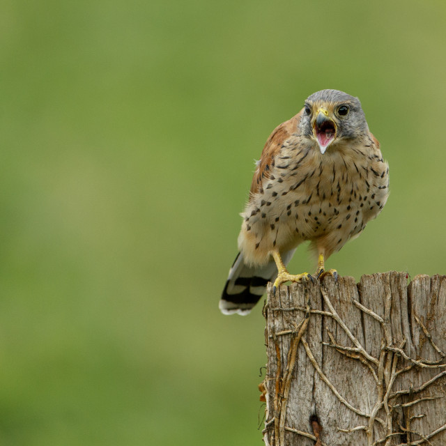 """Common Kestrel perched on post and calling"" stock image"