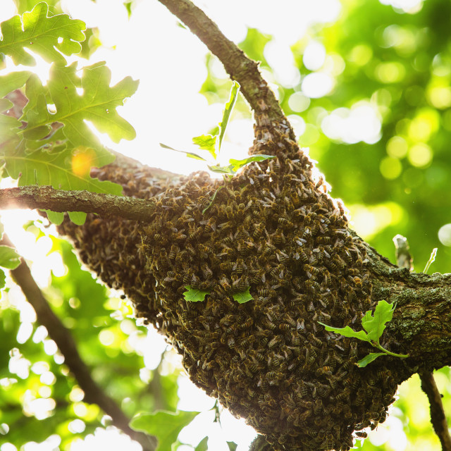 """Honeybee swarm hanging at the tree in nature"" stock image"