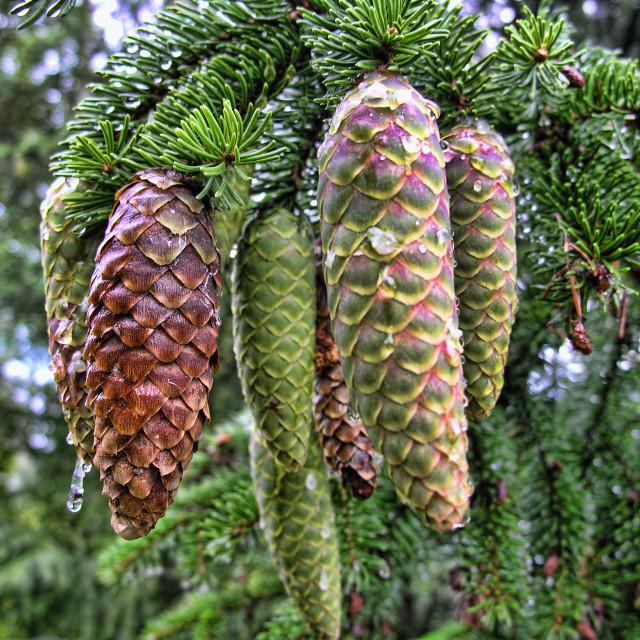 """Pine Cones, Lillehammer"" stock image"