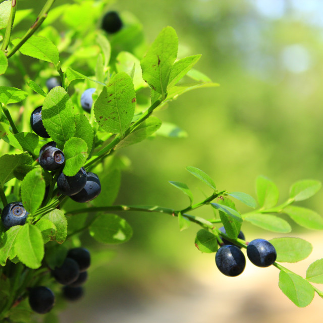 """tuft of bilberry in the forest"" stock image"