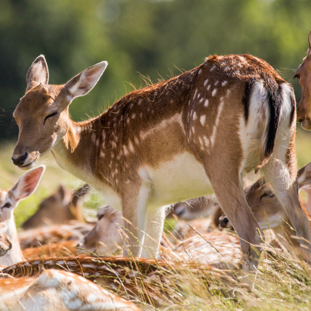 """""""Young Hind Standing"""" stock image"""