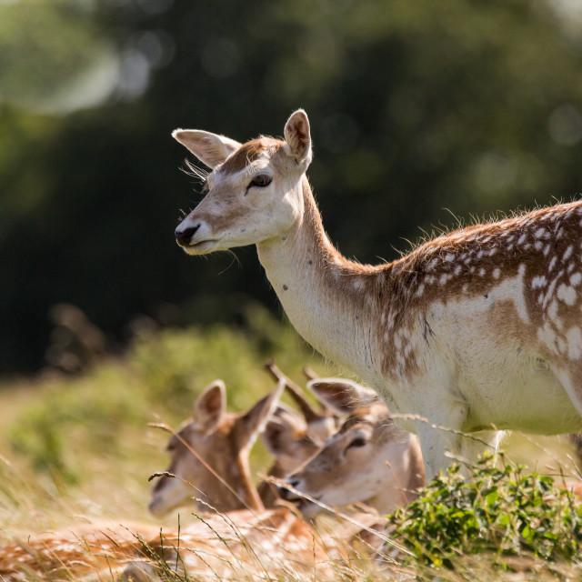 """""""Deer Standing"""" stock image"""