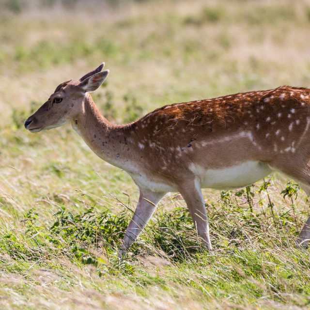 """Fallow Deer Walking"" stock image"
