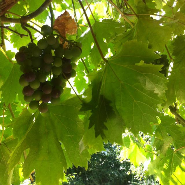 """Shaded grapes"" stock image"