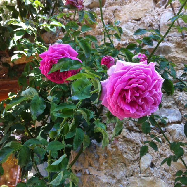 """Summer Rose"" stock image"