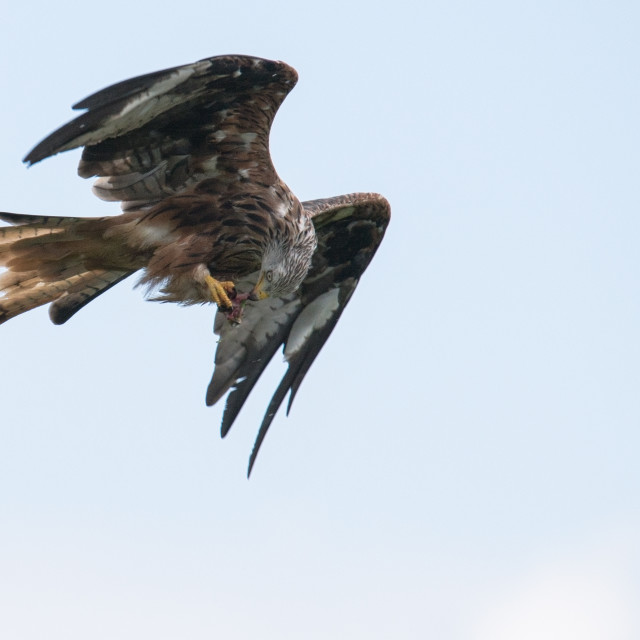 """Red Kite"" stock image"