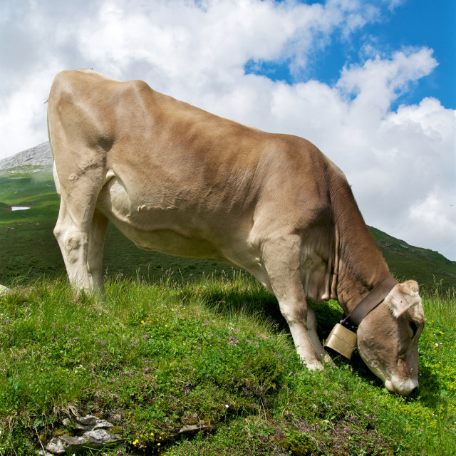 """Cow on an incline"" stock image"