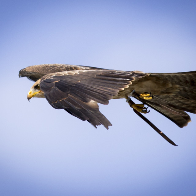 """Tawny Eagle in Flight"" stock image"