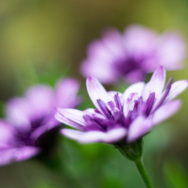 """Purple bloom"" stock image"