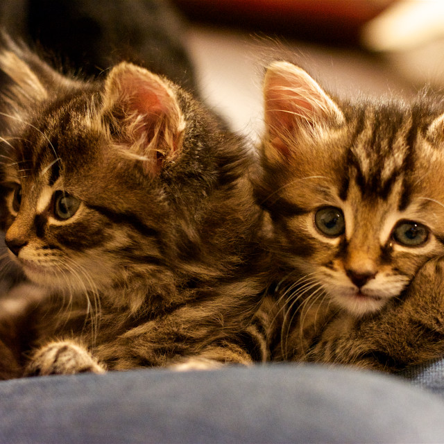 """""""Double Trouble. Two cute kittens on a lap"""" stock image"""