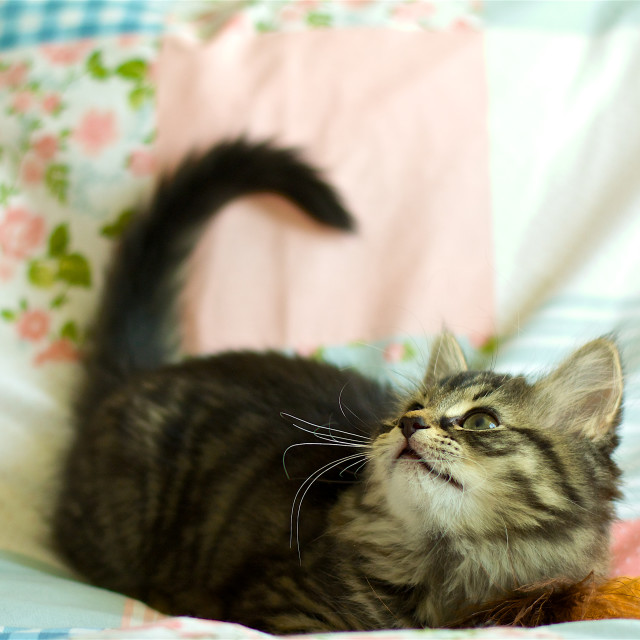 """""""Waiting. Kitten on a bed, playing"""" stock image"""