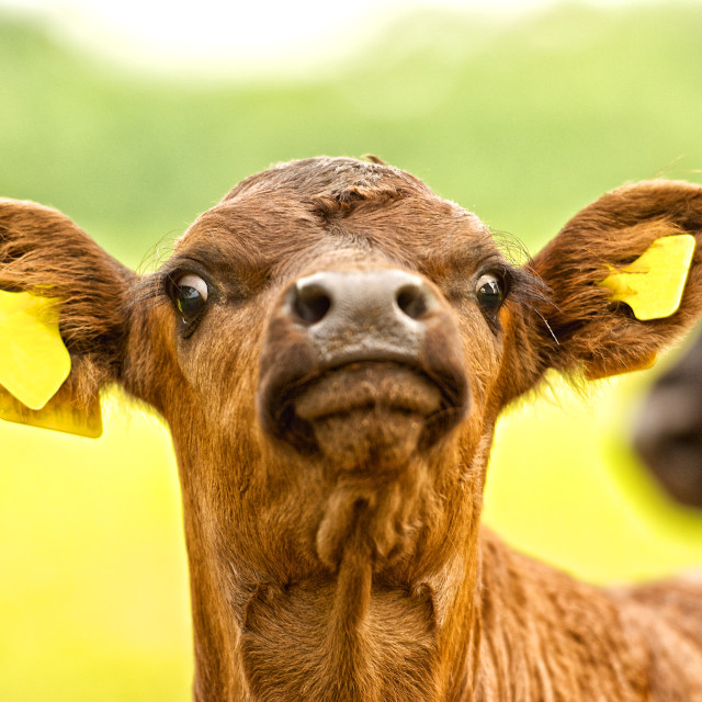"""""""Wot you looking' at! Curious calf with mother"""" stock image"""