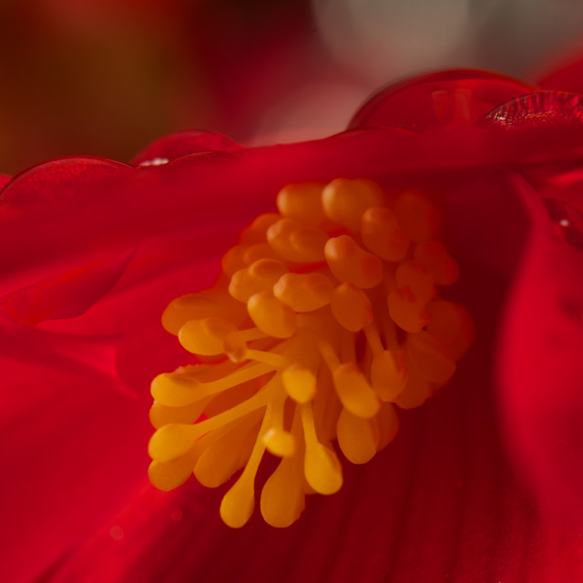 """""""Open Wide-wet begonia close up"""" stock image"""