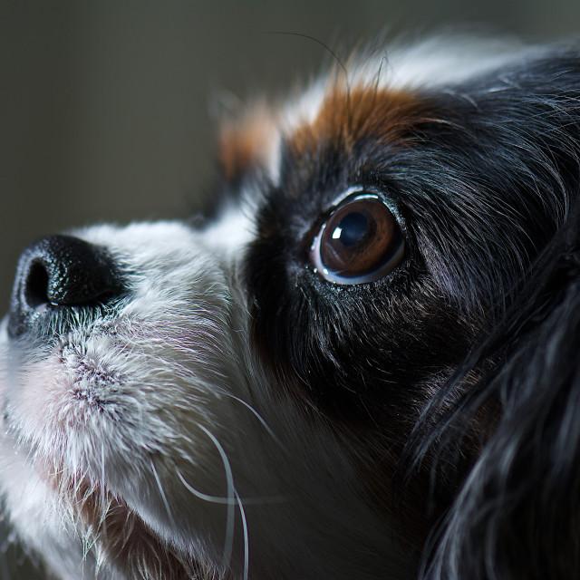 """King Charles dog portrait"" stock image"