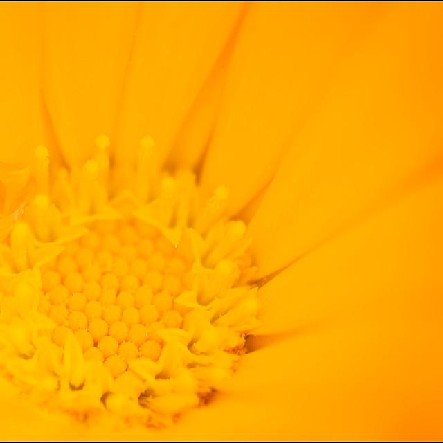 """Sunburst yellow flower"" stock image"