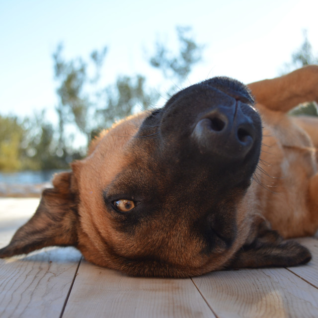 """""""Lazy days. Dog rolling on it's back in the sun, by the pool"""" stock image"""