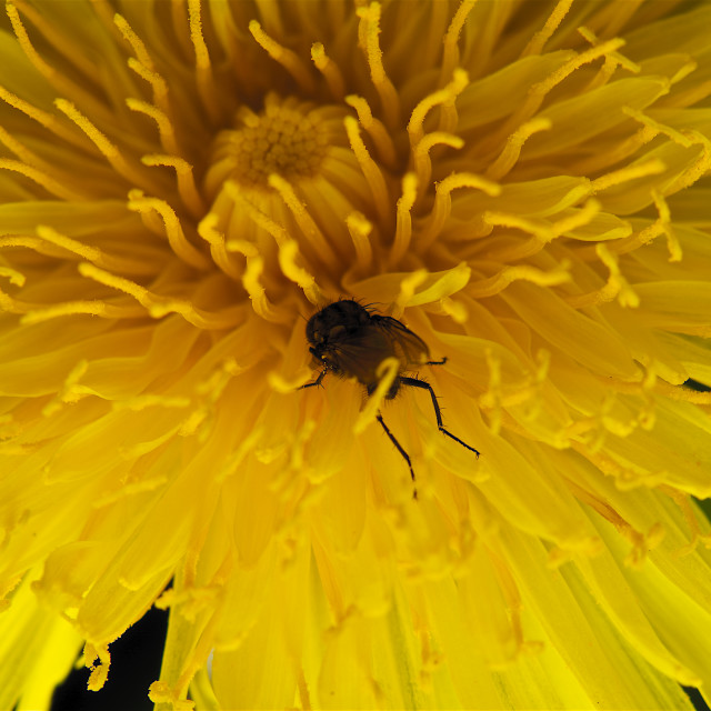 """""""Dive in. Fly burrowing into yellow flower"""" stock image"""