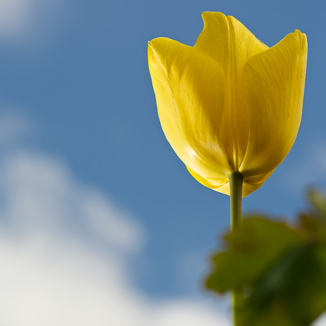 """tall yellow tulip"" stock image"