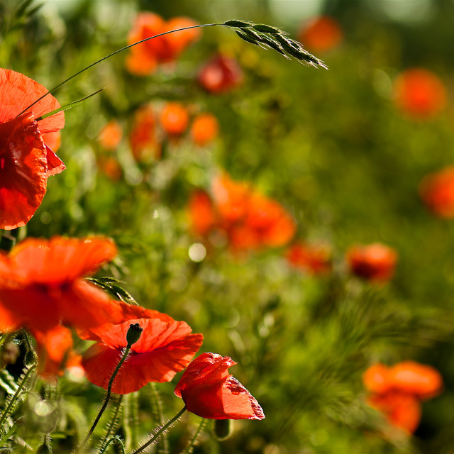 """""""Poppies and grass"""" stock image"""