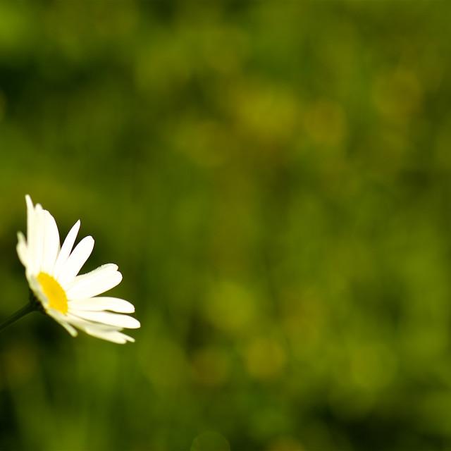 """""""One daisy-green backdrop"""" stock image"""