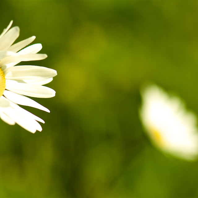 """""""Two daisies-green backdrop"""" stock image"""