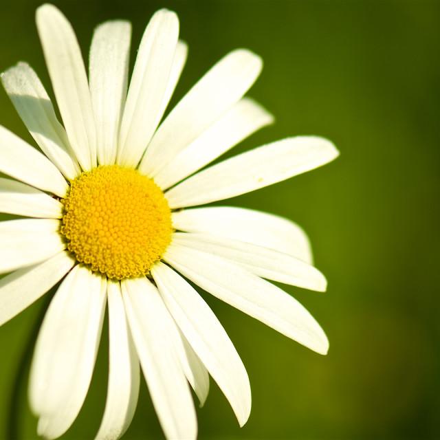 """daisy portrait-green backdrop"" stock image"