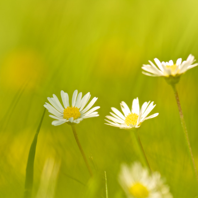 """""""Daisies by three and abstract grass"""" stock image"""