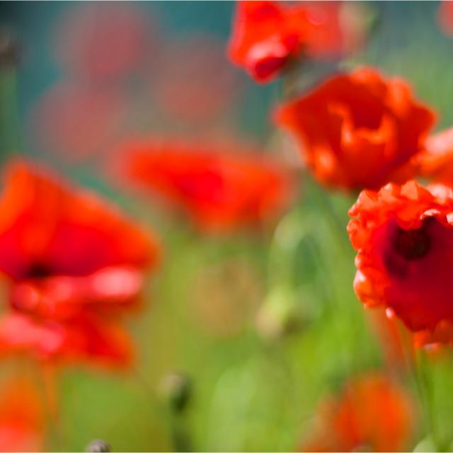 """""""Poppy Dreams-ICM poppies"""" stock image"""