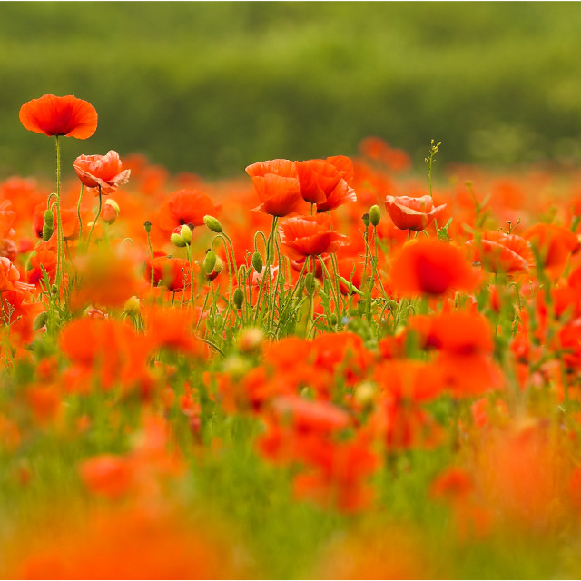 """""""Rise above-poppy field panorama"""" stock image"""