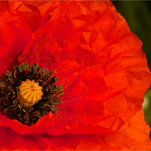 """""""Poppy close up-newly opened"""" stock image"""