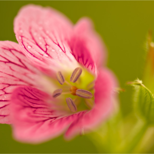 """""""Belle Pink-pink wildflower close up"""" stock image"""