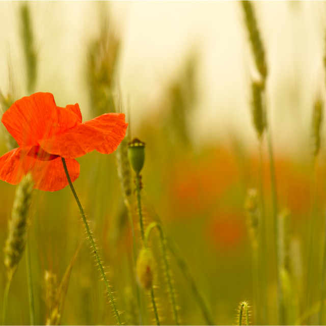 """""""Individual-lone poppy in the grass"""" stock image"""
