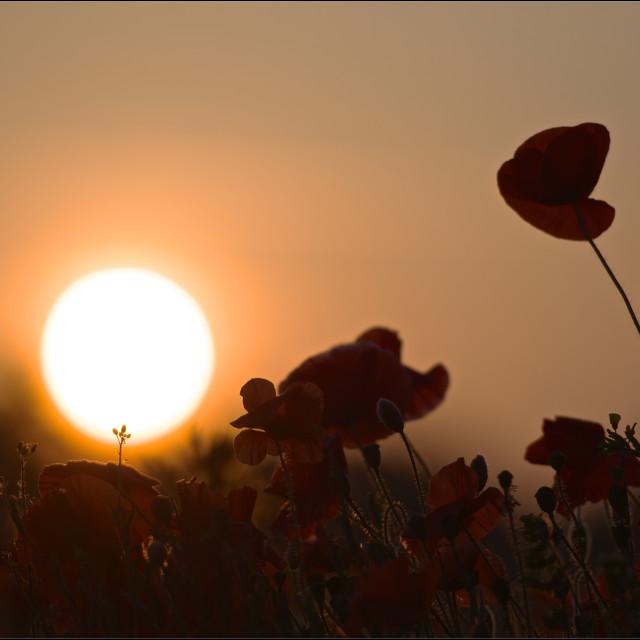 """""""Poppy sunrise-poppy sunrise silhouette"""" stock image"""