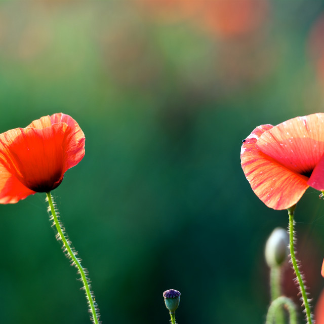 """""""Poppy climbing- backlit poppies standing tall"""" stock image"""