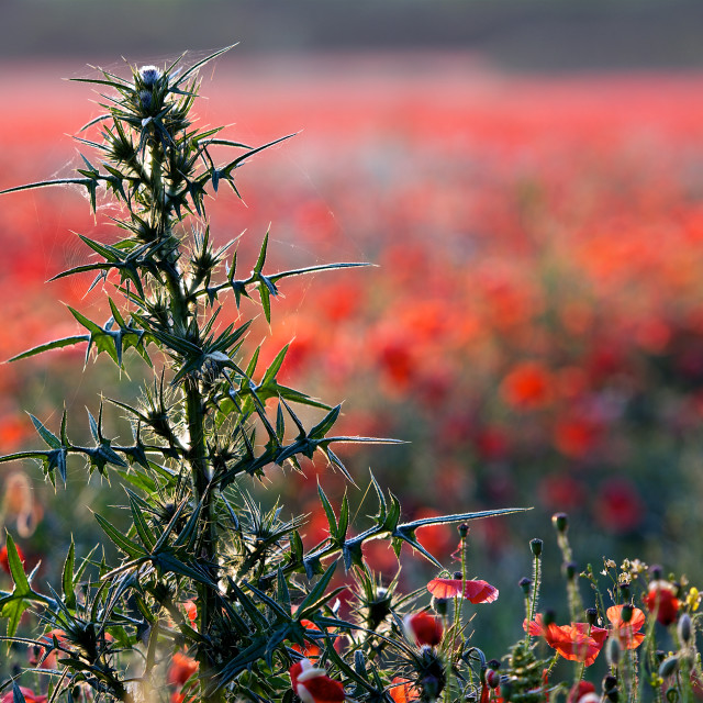 """""""Prickly subject- large thistle among the poppies"""" stock image"""