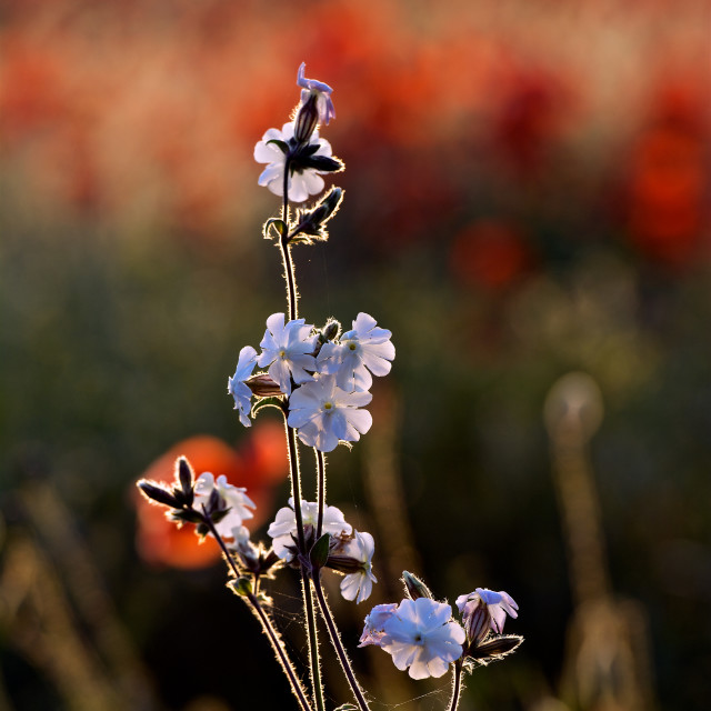 """""""White on red-white wildflower among the poppies"""" stock image"""