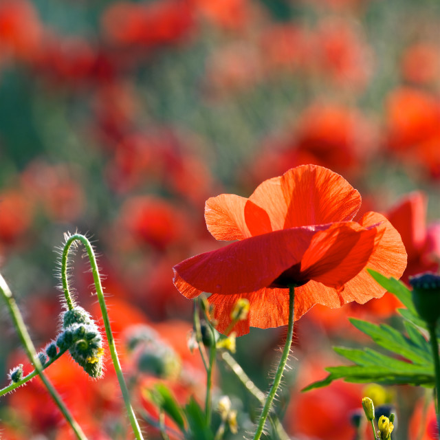 """""""Bud to bloom-Poppy flower and bud"""" stock image"""