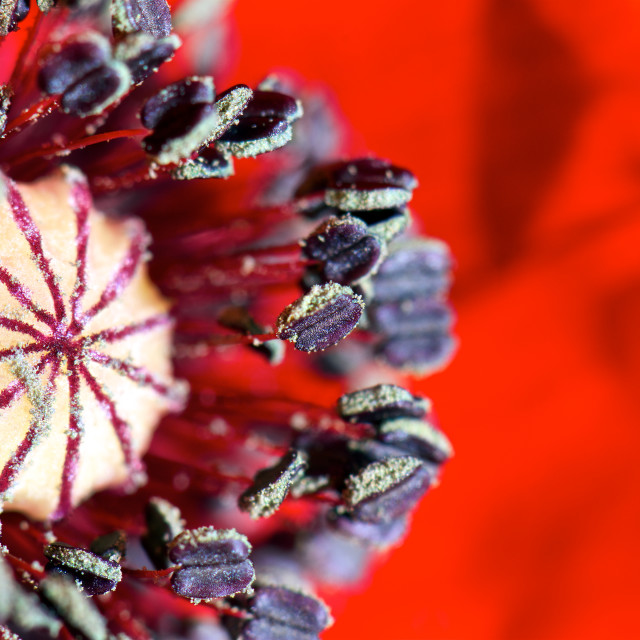"""""""Landing pad-close up of a poppy"""" stock image"""