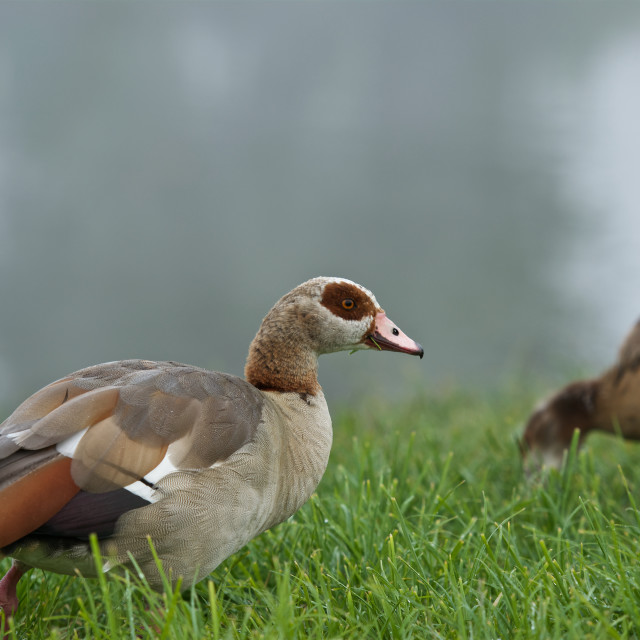 """""""Chow time- egyptian geese"""" stock image"""