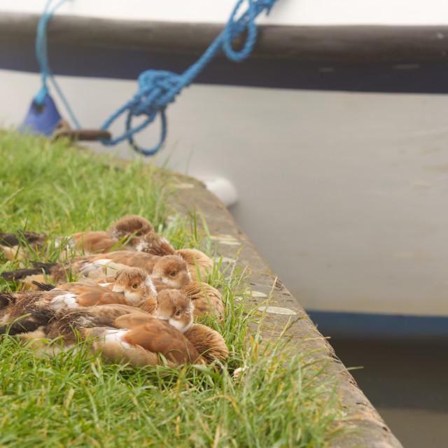 """Sleepy. ducks by the river"" stock image"