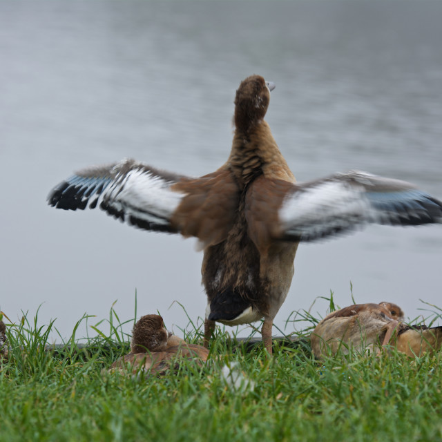 """""""Spread your wings. duck stretching it's wings"""" stock image"""