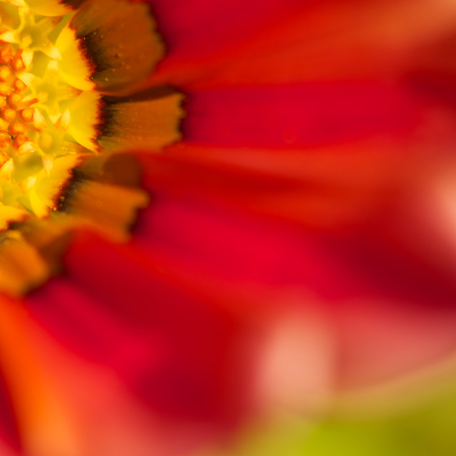 """Gazania iv, Gazania flower 3/4, abstract petals"" stock image"