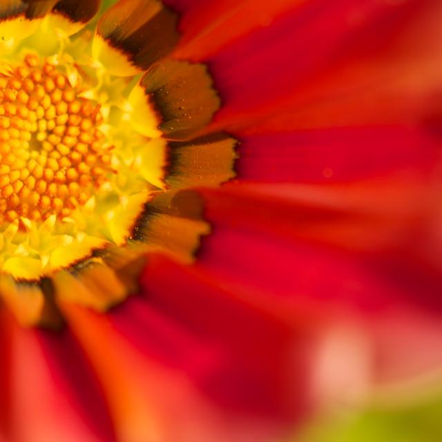 """""""Gazania v. Gazania flower, abstract petals- full centre"""" stock image"""