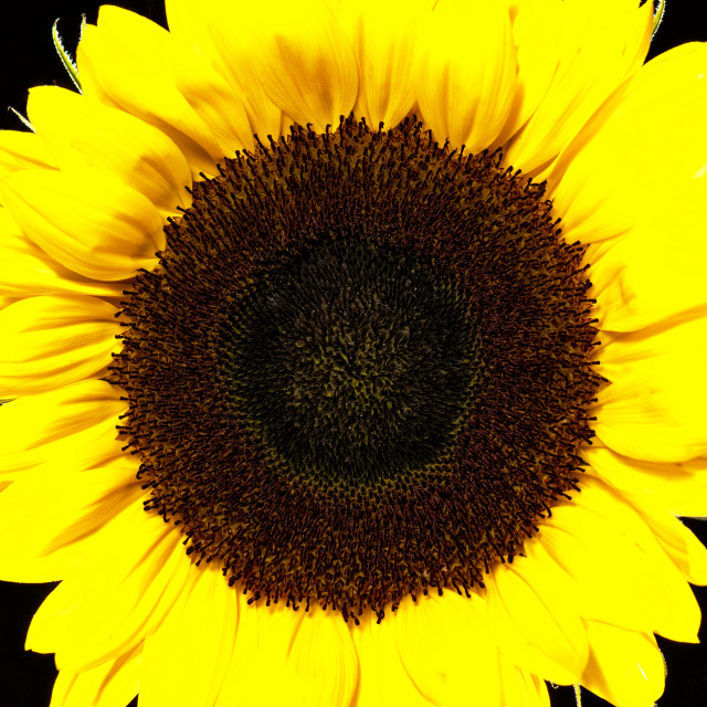 """Yellow speaker-square. Sunflower close up, black background"" stock image"