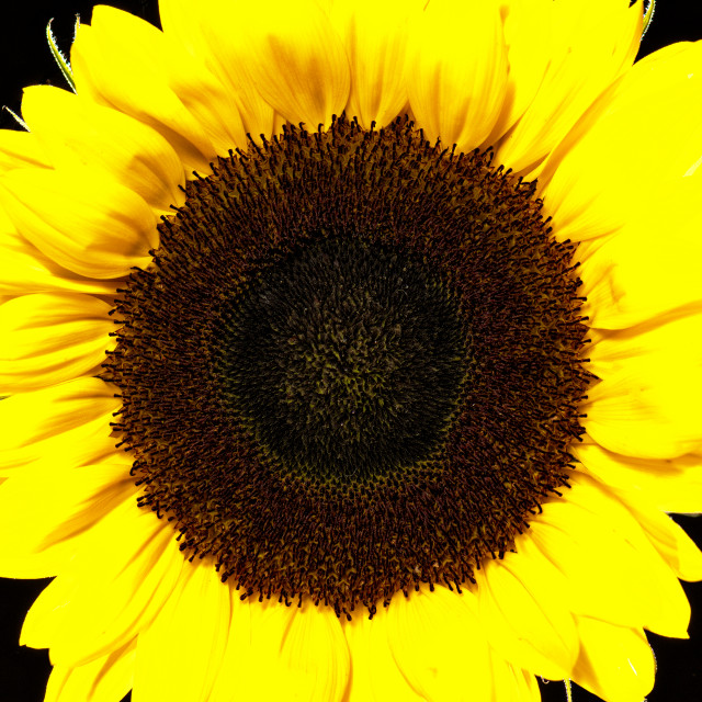 """""""Black and Yellow. Sunflower in landscape with black background."""" stock image"""