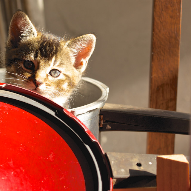 """""""Kitten in saucepan and red lid"""" stock image"""