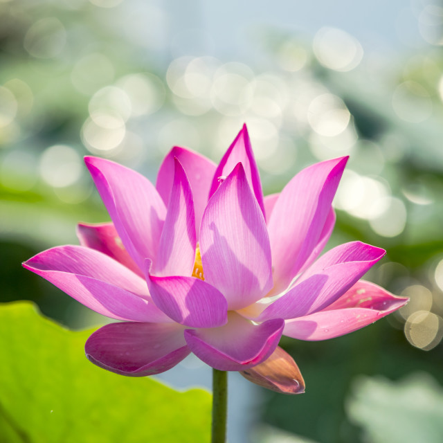 """The lotus"" stock image"