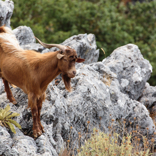 """Greek Goat"" stock image"