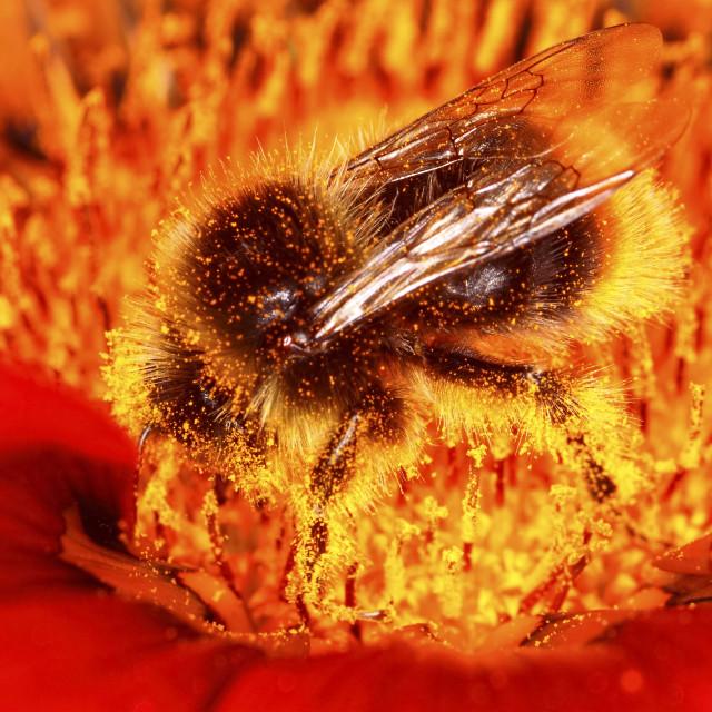 """Bee gathering pollen"" stock image"