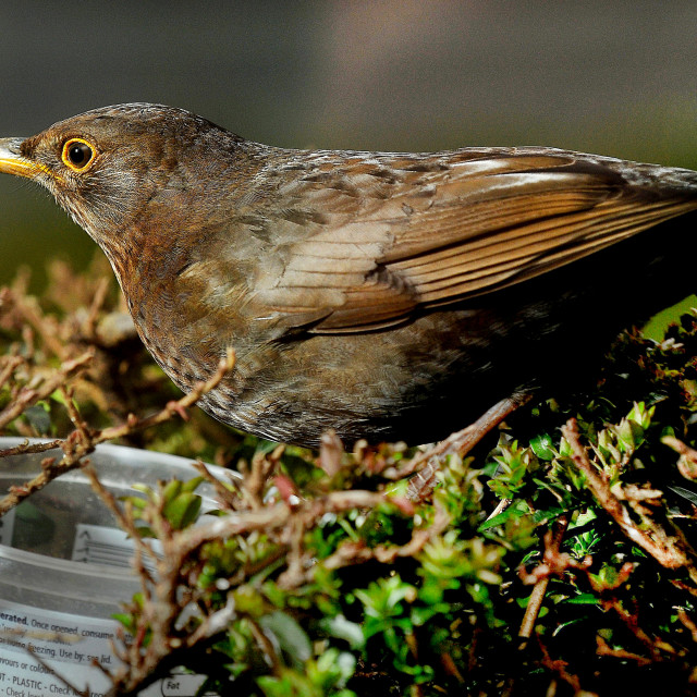"""A Female Blackbird enjoying a garden feast"" stock image"